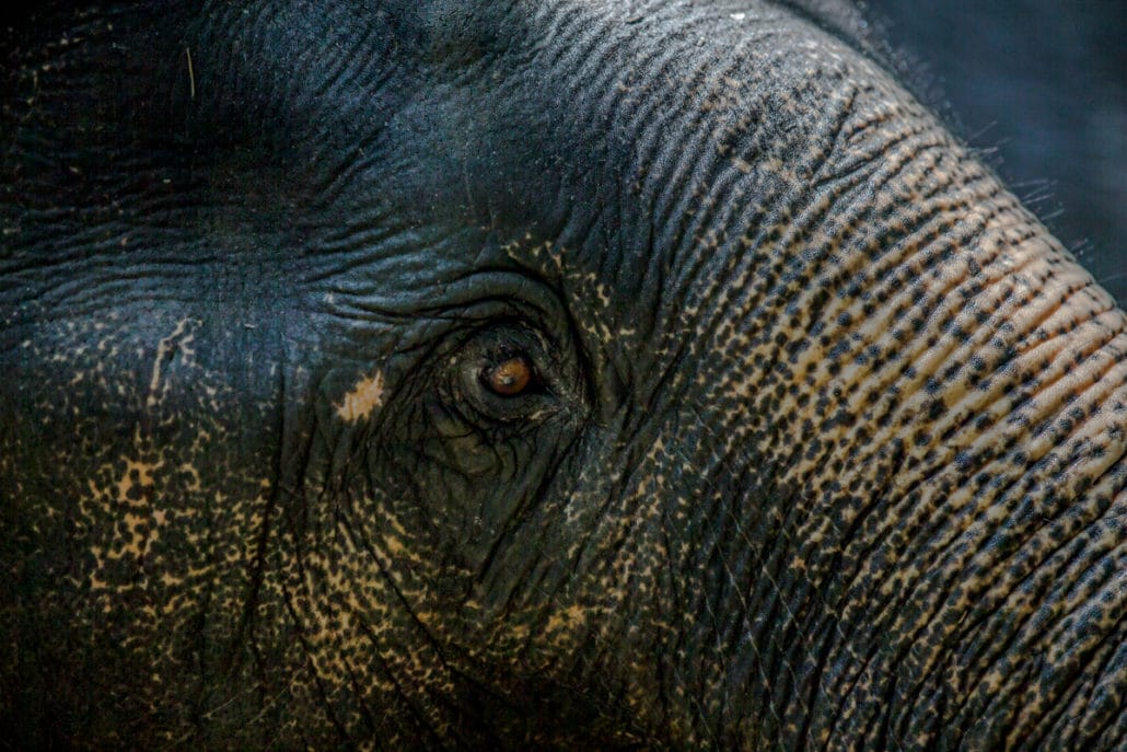 Elephants eye, Krabi Elephant House Sanctuary