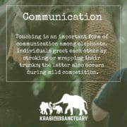 ELEPHANT'S ENCYCLOPEDIA : ELEPHANT COMMUNICATION, Krabi Elephant House Sanctuary