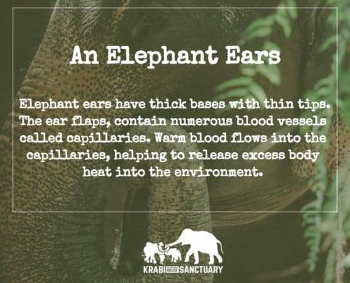 ELEPHANT'S ENCYCLOPEDIA : ELEPHANT EARS, Krabi elephant House Sanctuary, Thailand