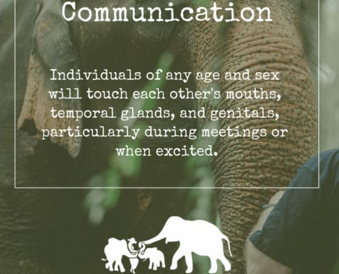 ELEPHANT'S ENCYCLOPEDIA : ELEPHANT COMMUNICATION Part 2