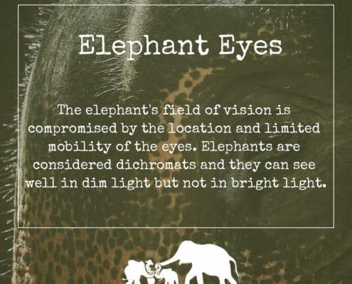ELEPHANT'S ENCYCLOPEDIA :EYES, Krabi Elephant House Sanctuary