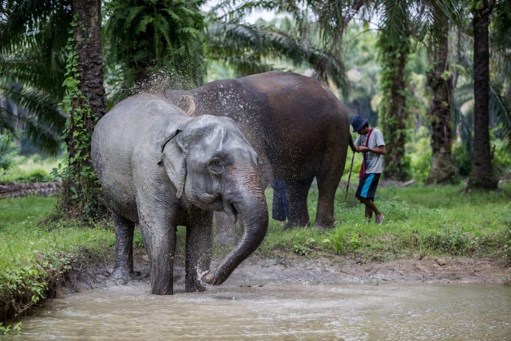 Elephants Bathing, Krabi Elephant House Sanctuary