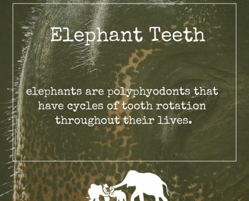 Elephant Teeth Cover - Krabi Elephant House Sanctuary