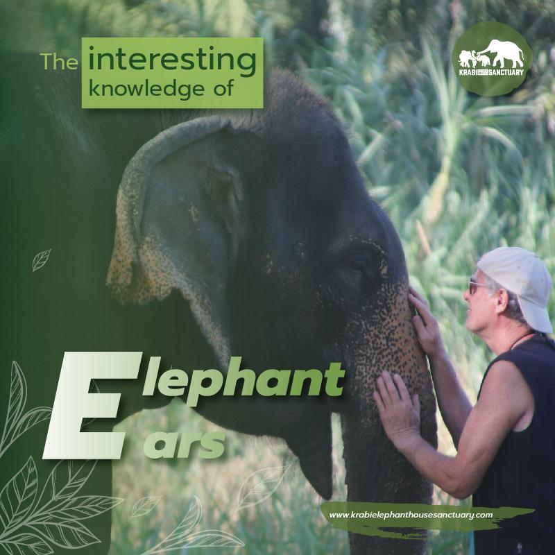 Interesting Knowledge Of Elephant Ears Krabi Elephant House Sanctuary