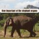 elephant organs
