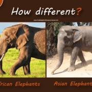 asian-elephants-vs-african-elephants